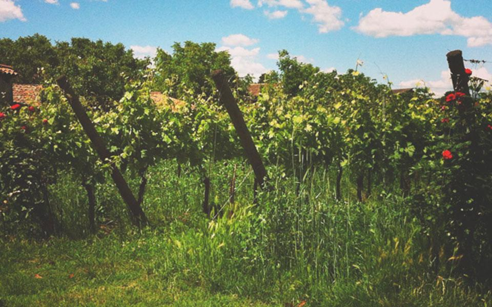 La CAPPUCCINA is Green in the Vineyard